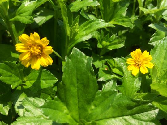 singapore daisies